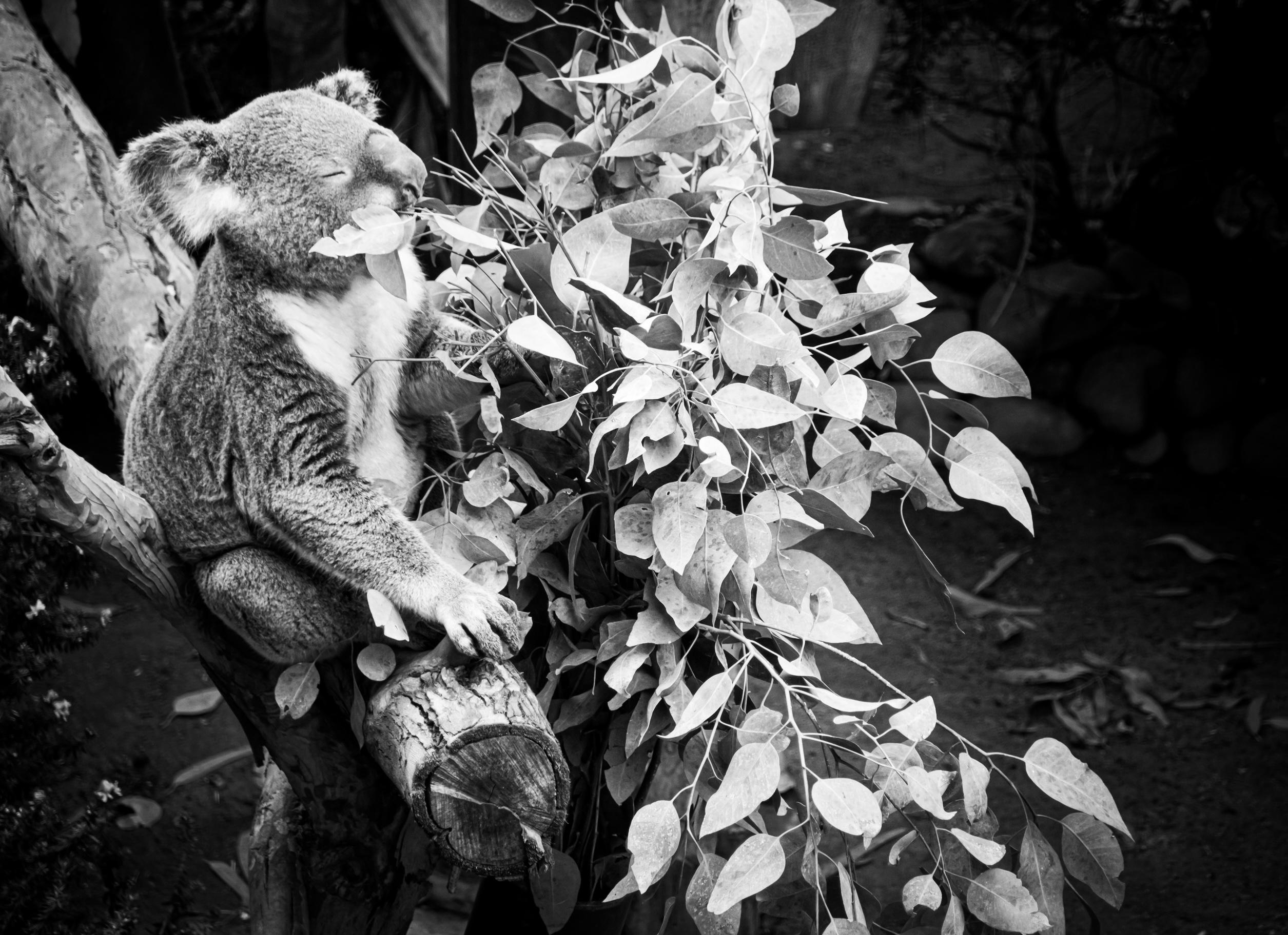 Black and white photo of a koala eating eucalyptus leaves